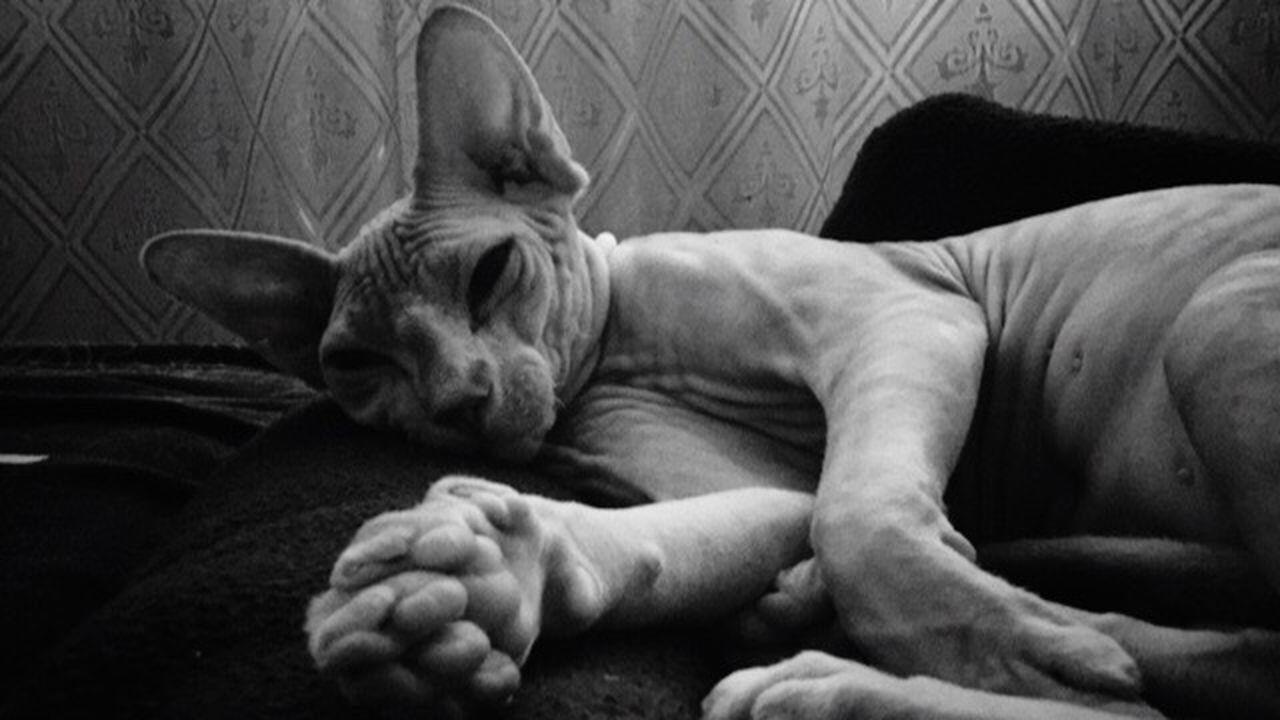 Шаи кот котэ Котик Коты кото_фото Pets Relaxation котопес сфинкс сфинксы египет Sleeping Animal Animal Themes спящий_кот