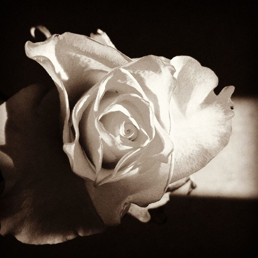 My Valentine Day Gift (: Black Background Nature Close-up Rose🌹 Black And White Photography Welcome To Black The Portraitist - 2017 EyeEm Awards