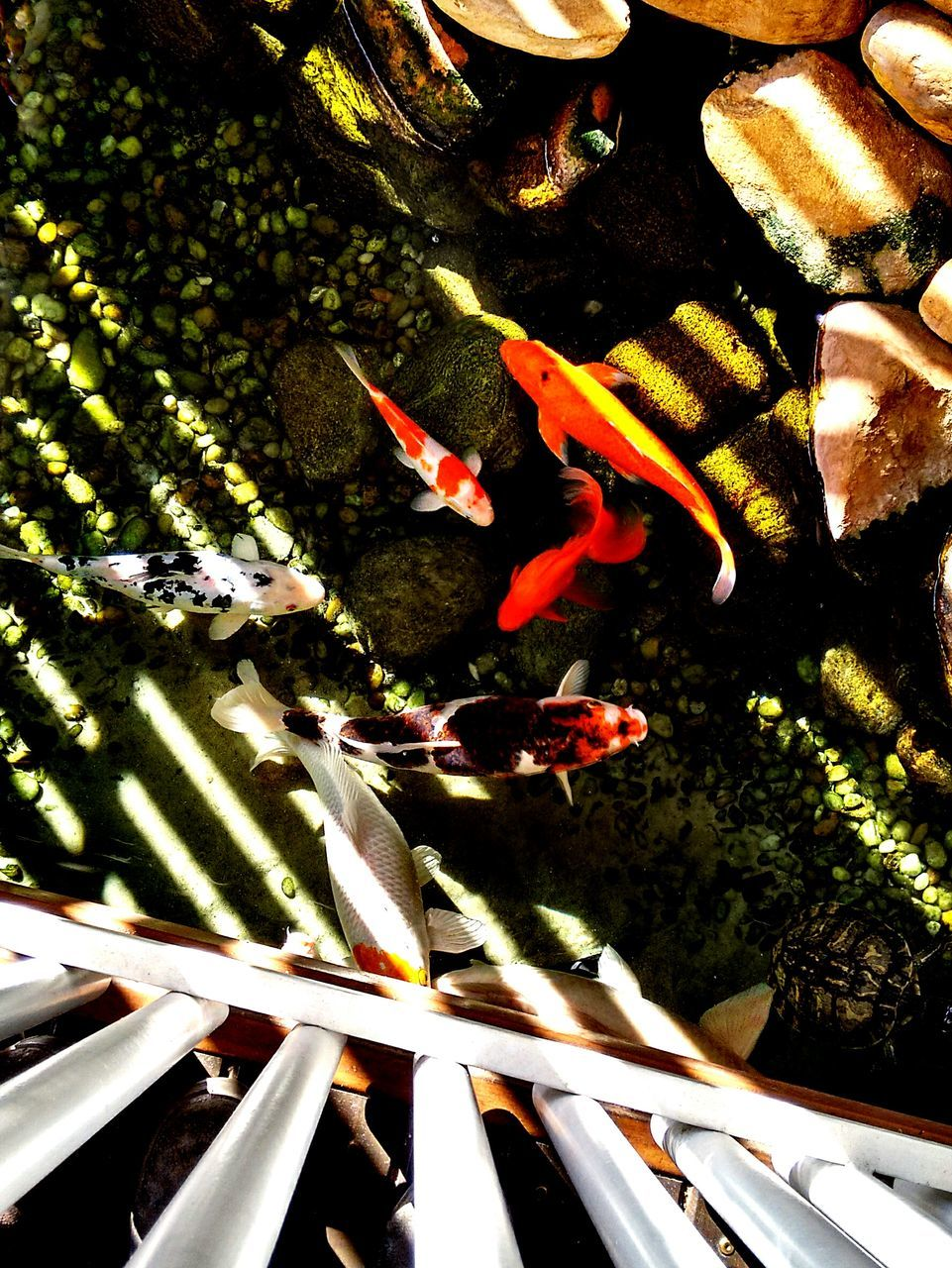 animal themes, high angle view, fish, no people, indoors, animals in the wild, sea life, close-up, swimming, nature, carp, water, large group of animals, day