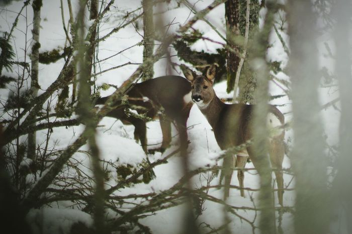 Showcase February 2017 Sweden 2017 Februari Niklas Björkvik Tree Animal Themes Nature Branch Outdoors Mammal Animals In The Wild Deer Animal Wildlife Cold Temperature Winter Snow BYOPaper! The Week On EyeEm Perspectives On Nature Shades Of Winter