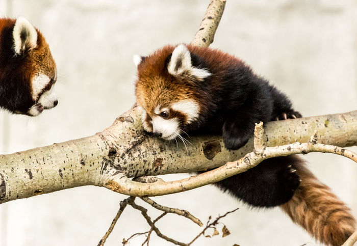 Reassurance Hanging Learning Animal Themes Branch Close-up Day Mammal Mother And Baby Red Panda Nature No People Outdoors Reassurance Red Panda Tree Zoo Animals