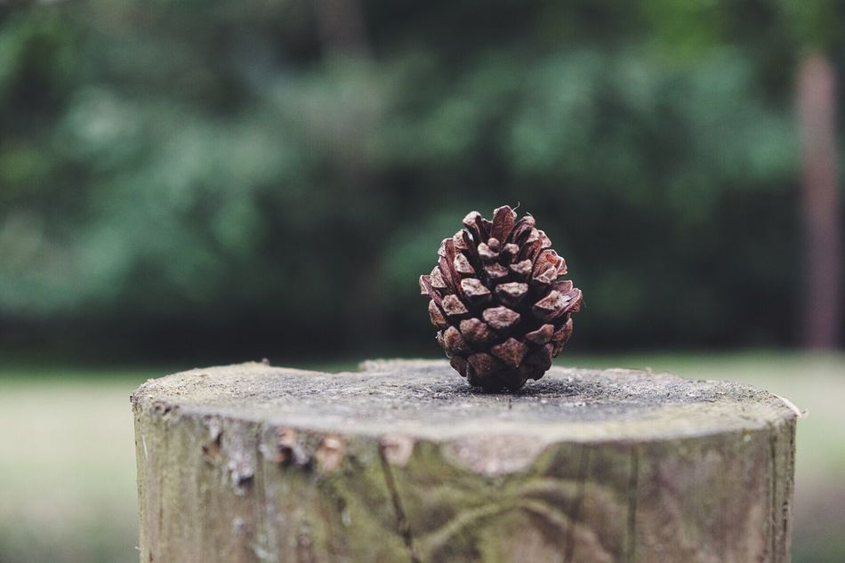 Lonely pinecone Nature TheGreatOutdoors Pinecone Tree