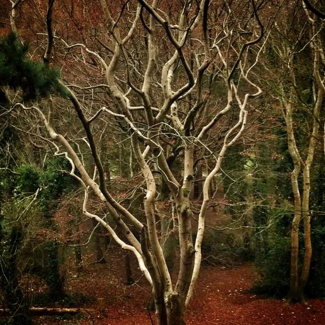 The tree in a wood that stands out.