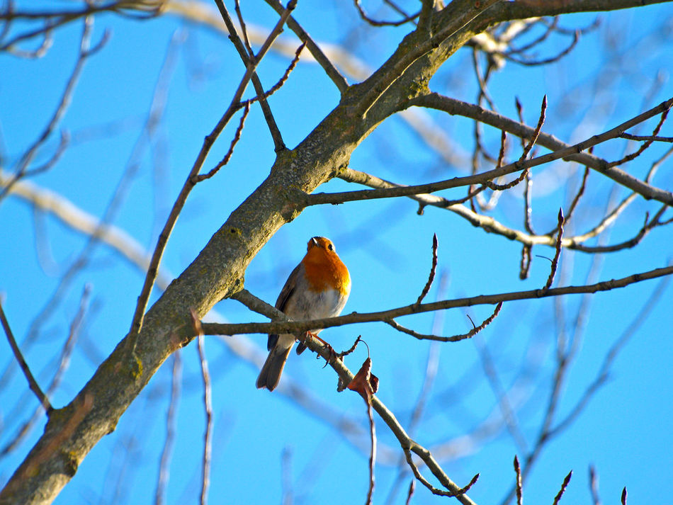 Animal Animal Themes Animal Wildlife Animals Animals In The Wild Animals In The Wild Bird Birds Birds_collection Branch Close Up Nature Day Environment Erithacus Erithacus Rubecula Low Angle View Nature Nature No People One Animal Outdoors Perching Robin Tree
