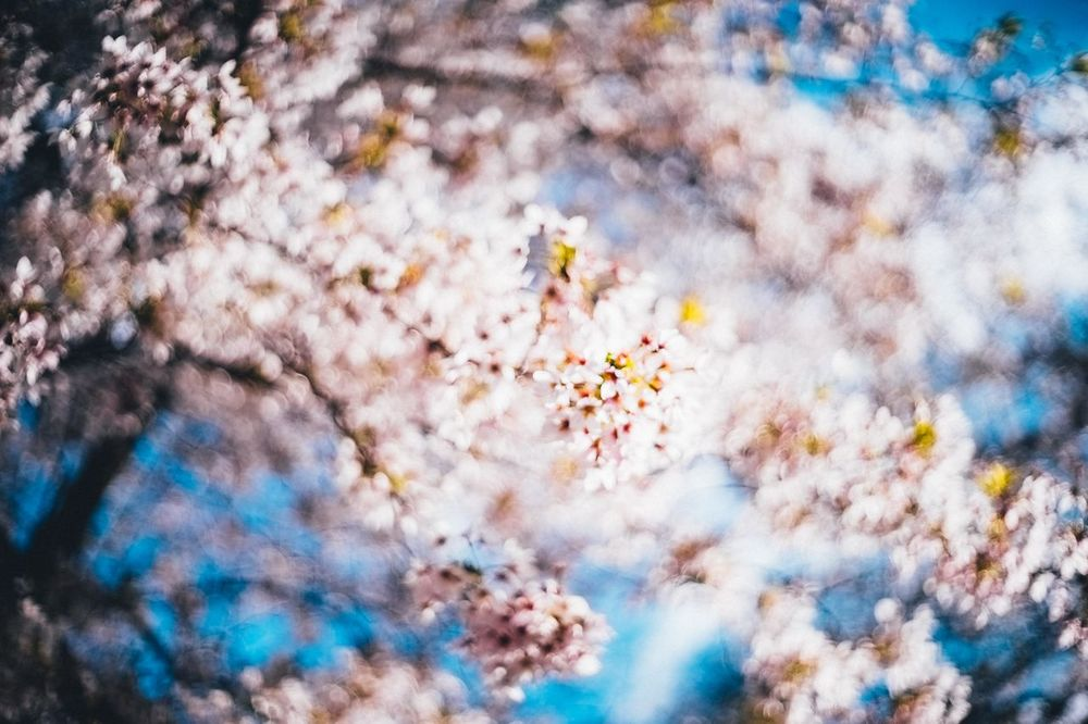 Ambiguous Focus On Flower Beauty In Nature Blossoms  Bokeh Photography Cherry Blossom Tree Cherry Tree Edited Flower Fragility GrungeStyle No People Petal Pink Flower Pink Flowers Spring Cherry Blossom Spring Comes Tranquility The Great Outdoors - 2016 EyeEm Awards