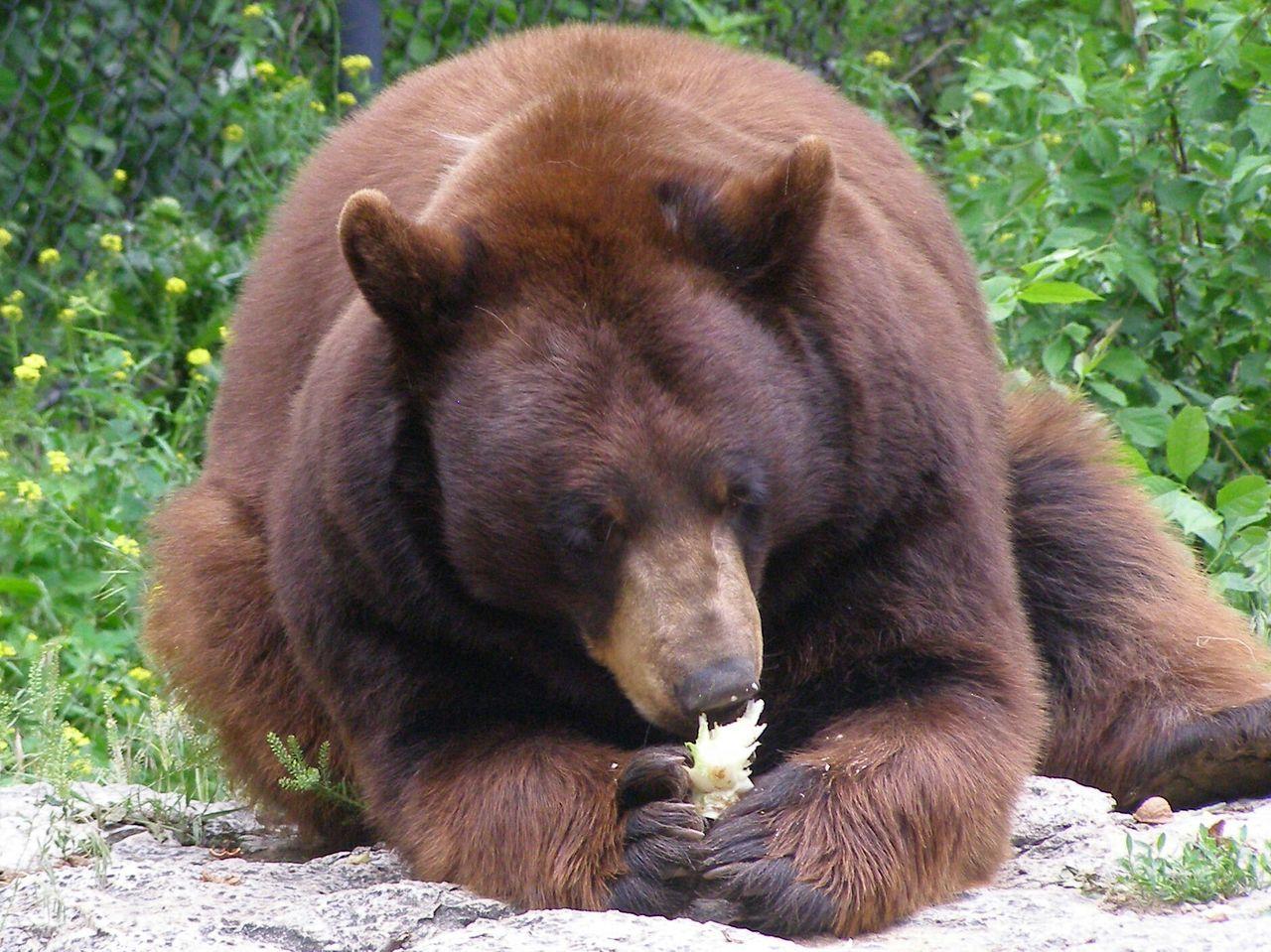 Beautiful stock photos of bear, Animal Themes, Animals In The Wild, Bear, Brown