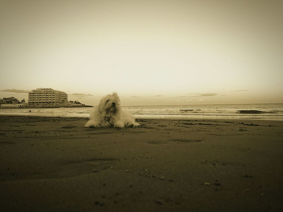 Beach Enjoying Life On The Beach Dogslife Maltese Dog Maltese Sand & Sea Sandy Beach