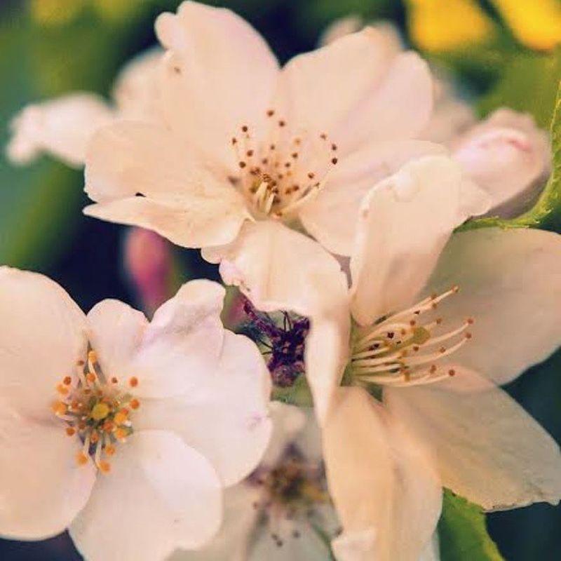 매년 오는 봄처럼 언젠가는 나에게도 매년 좋은일이 찾아오겠지 Day Daily Screen World Blossom Flower Natural Spring Follow 맞팔 Instagood 센척 치명적인척 감성팔이 3월 봄 Tagsforlikes
