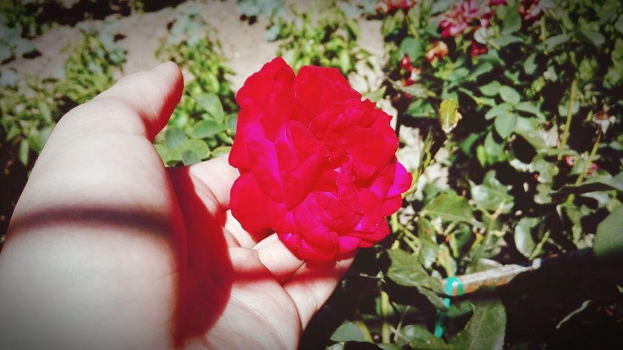 Pink Flower Flower Garden Photography Rose🌹 Rose Pink