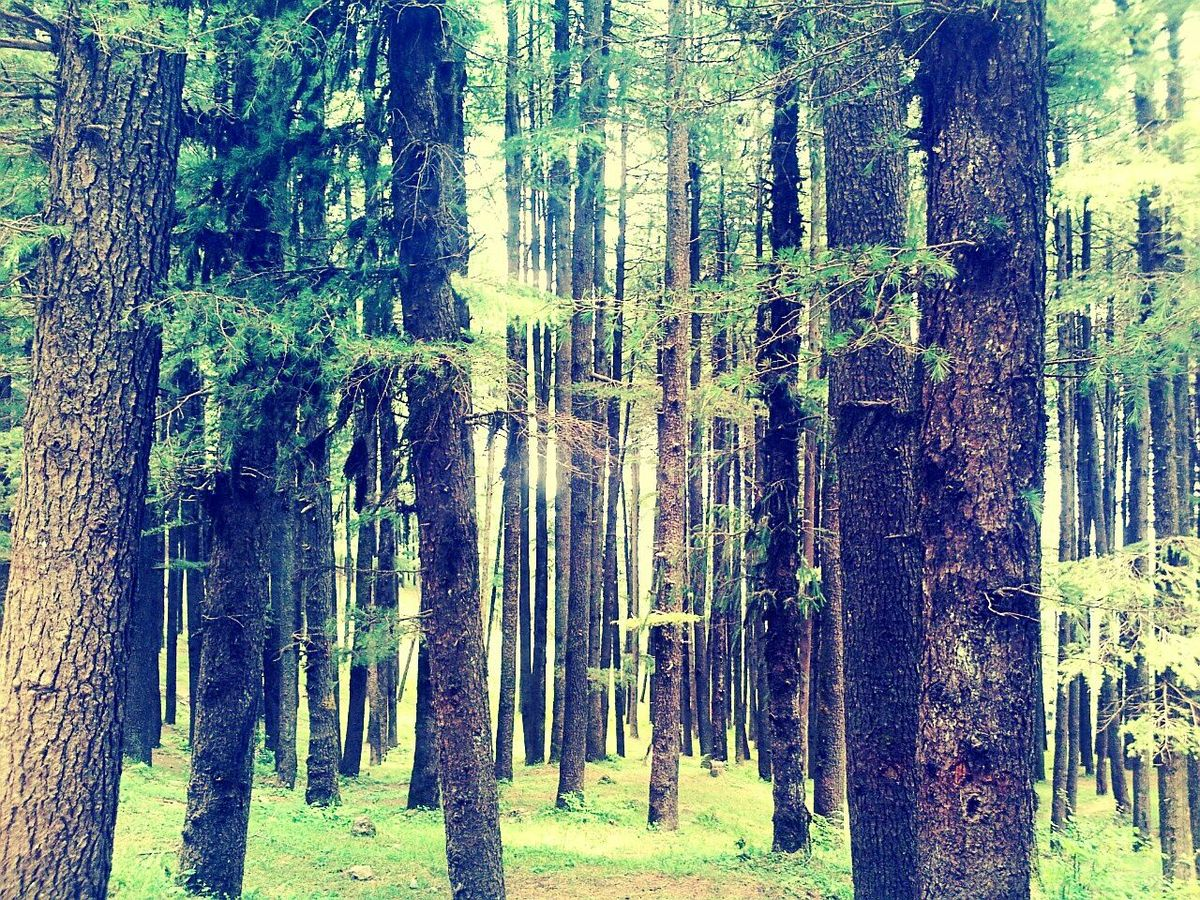 Breathtaking view of pines...Pinewoods Nature Forest Photography Showcase June