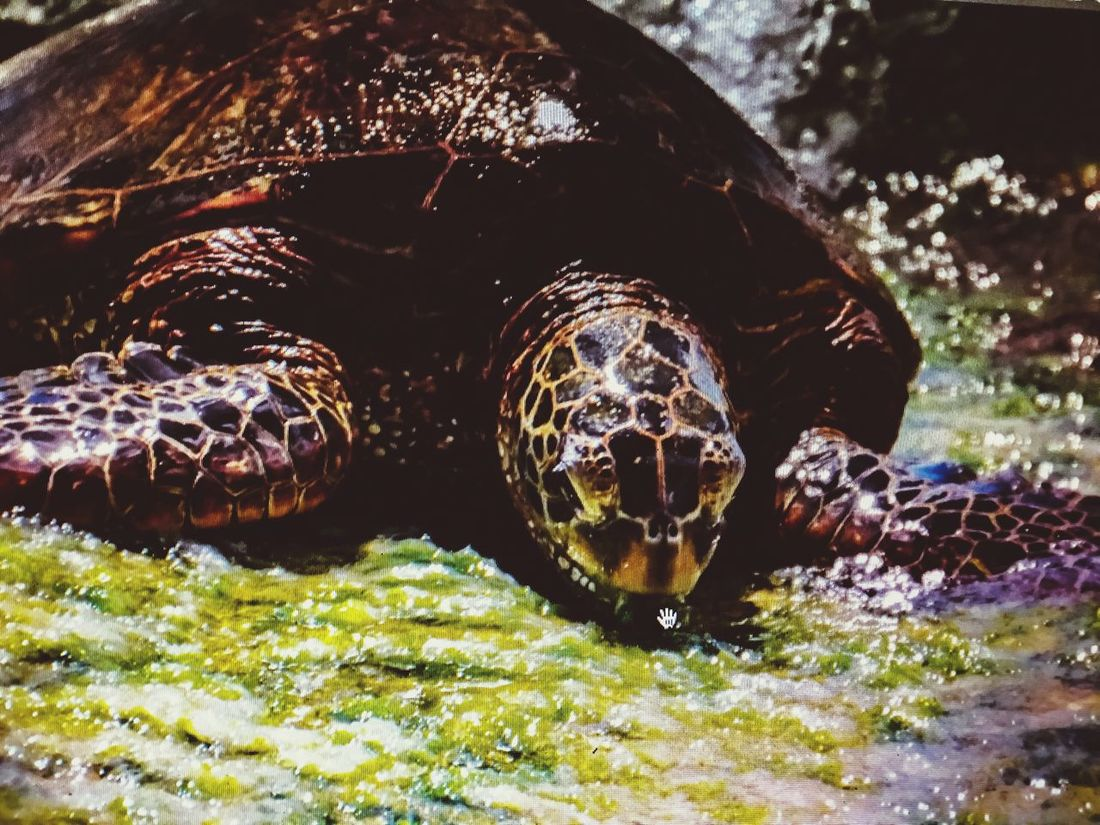 Hawaiin sea turtle Animals In The Wild Water Turtle Sea Life No People Beauty In Nature The Great Outdoors - 2017 EyeEm Awards