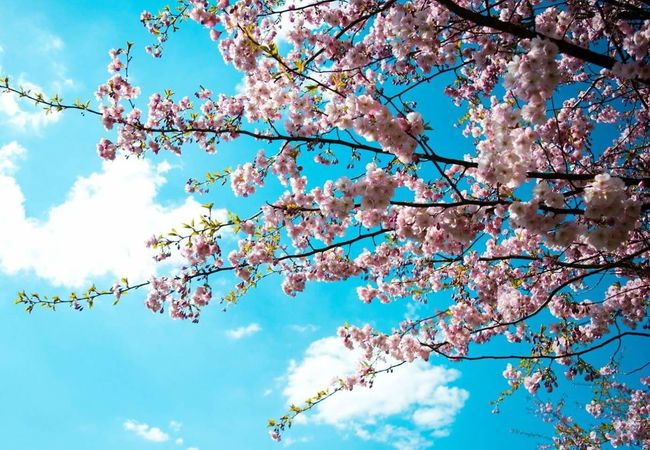 Pink Flower Sakura Sakura Trees Tree_collection  Tree And Sky Sky_collection Hanging Out Taking Photos Check This Out Hello World Relaxing Enjoying Life Spring