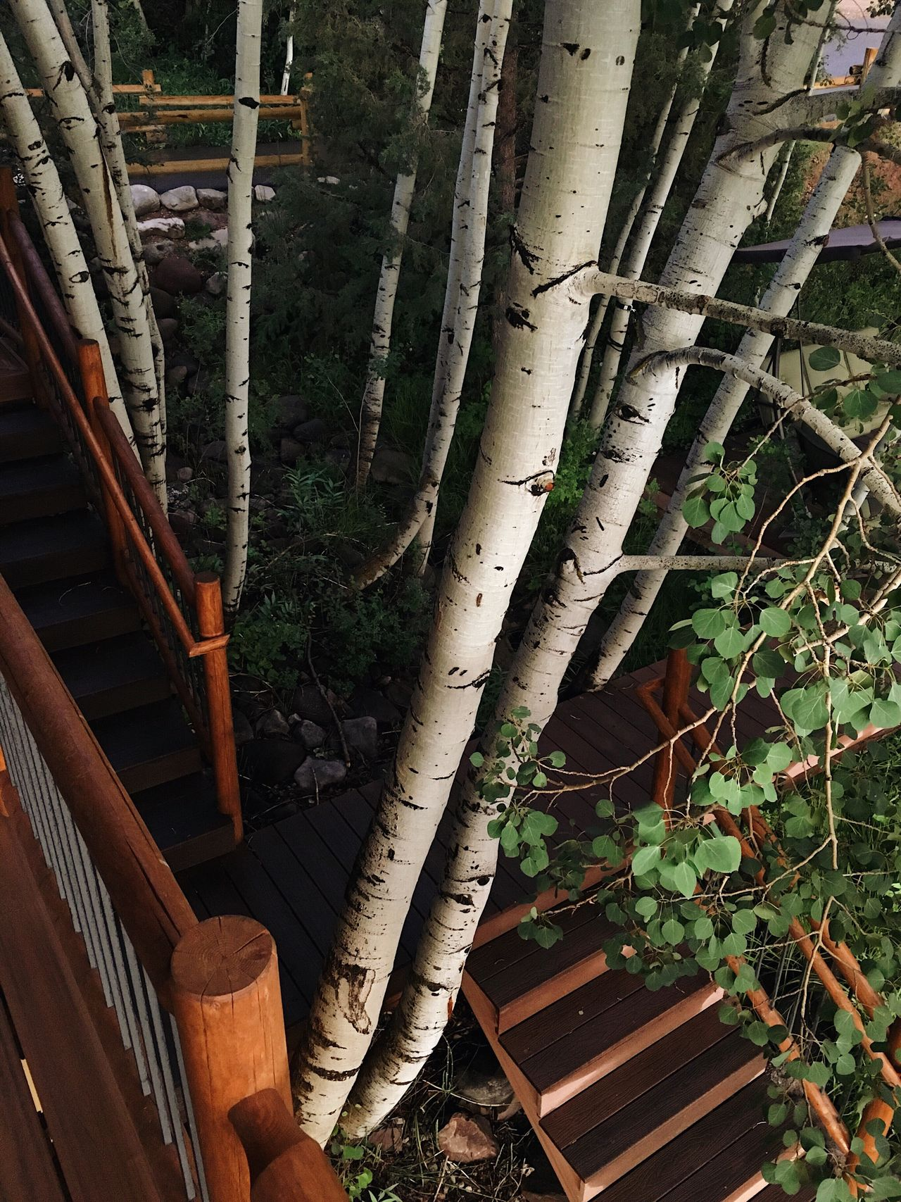 the aspen are my favorite tree up here. their leaves will turn a bright yellow in the fall. Heber City