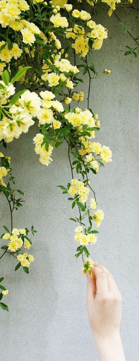 Flowers Yellow Flowers Yellow On The Wall Hand Collecting Flowers Nature Nature Photography Nature_collection