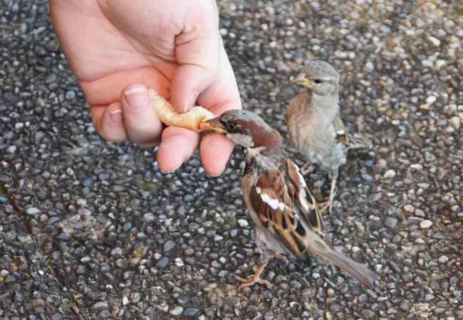 Are you jealous little birdy?? Animals In The Wild Bird Birds Birds_collection Feeding  Feeding Animals Feeding The Birds Hand Holding Pebble Person Selective Focus Sparrow Sparrows Stone Wildlife Zoology Two Is Better Than One