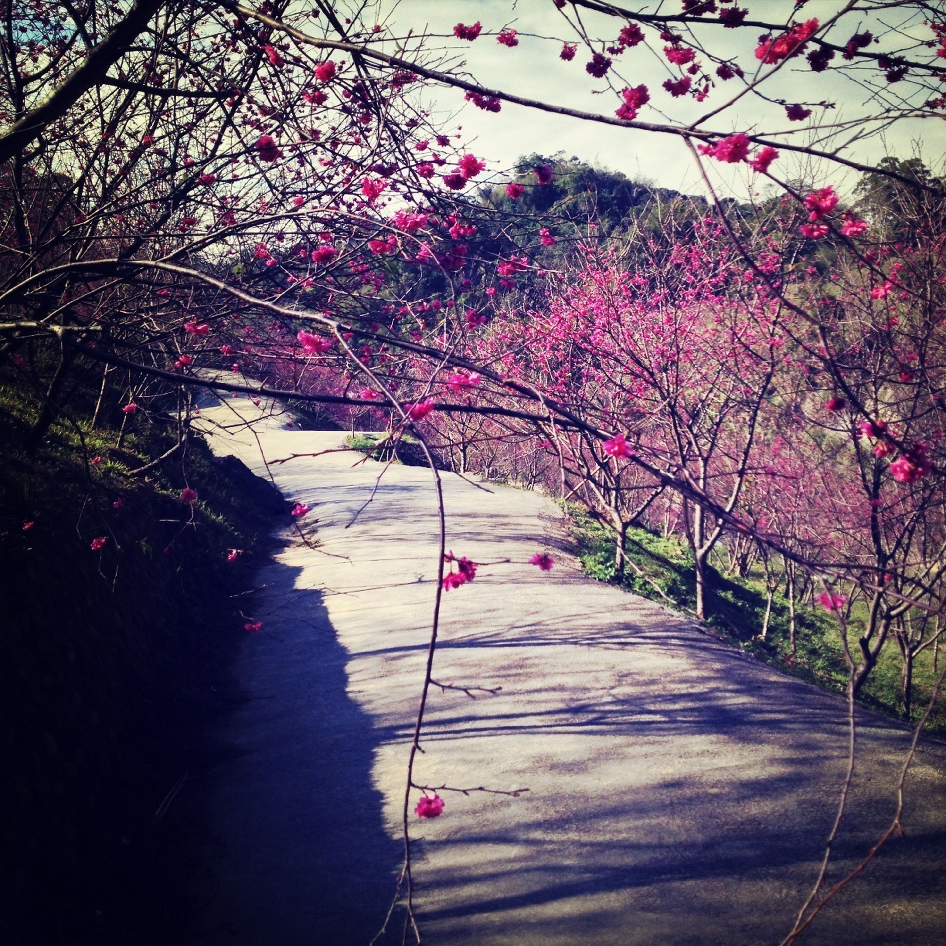 tree, flower, branch, growth, pink color, transportation, nature, bridge - man made structure, blossom, connection, the way forward, railing, beauty in nature, red, built structure, day, park - man made space, outdoors, road, freshness