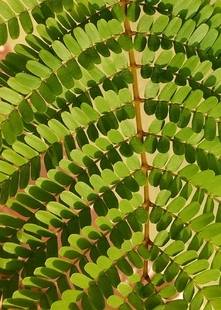 leaf, green color, growth, no people, plant, day, indoors, close-up, beauty in nature, nature, freshness