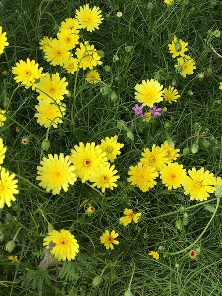 Flower Yellow Beauty In Nature Petal Growth Fragility Nature Freshness Flower Head Blooming Plant Green Color Field Outdoors No People Day Desert Flower Wildflower Beauty In Nature Nature Yellow Flower Yellow Flowers