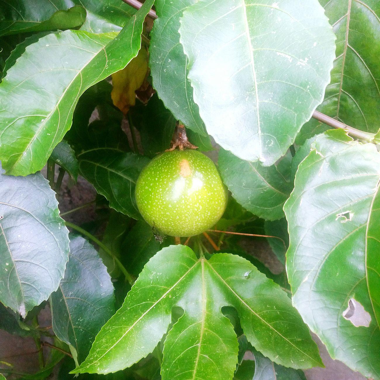Maracujá Maracuya Juice Fruit Green Color Freshness Growth Healthy Eating