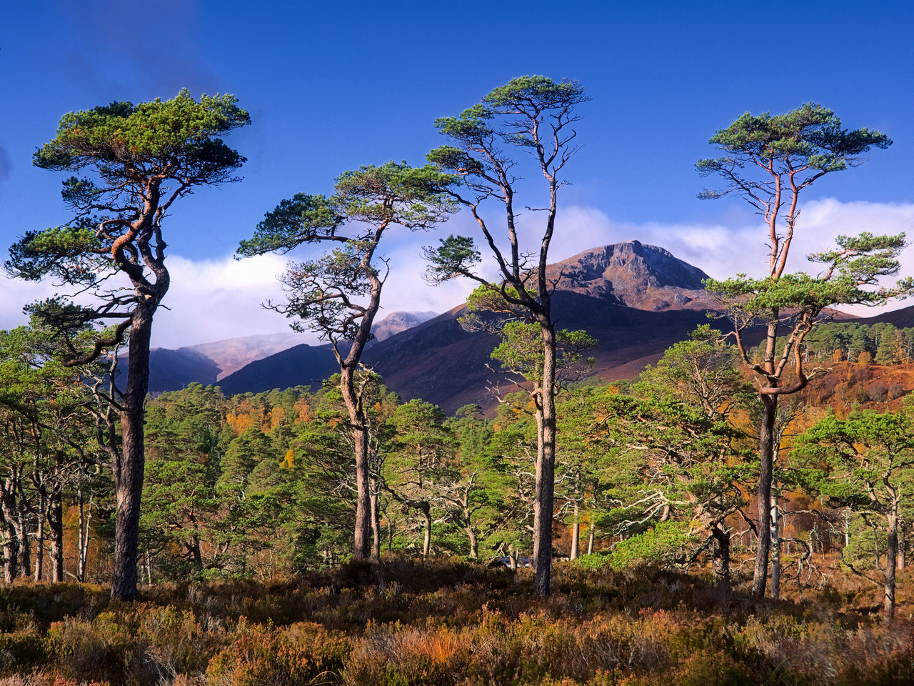 Four Pines - Sgurr na Lapaich in the distance from Glen Affric Autumn Autumn Colors Beauty In Nature Blue Glen Affric Highlands Landscape Nature Nature Outdoors Scenics Scotland Scotland 💕 Sky Tranquil Scene Tranquility Tree