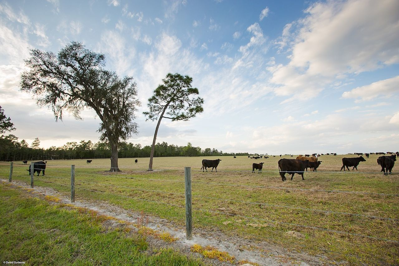 OCALA, FLORIDA Pixelperfectnyc David Gutierrez Beautiful Travel EyeEm Best Shots My View Blue Sky Country Cows Traveling Farm Life