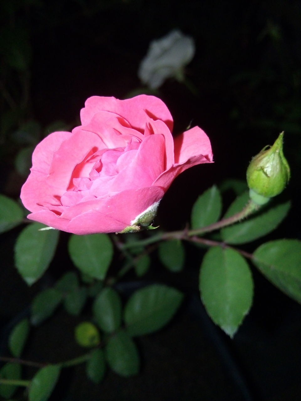 flower, nature, growth, petal, beauty in nature, plant, leaf, no people, fragility, pink color, night, flower head, close-up, freshness, outdoors
