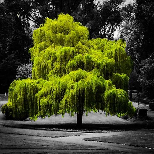Tree Green Color Nature Beauty Outdoors TreePorn Tree Trees Colors Green