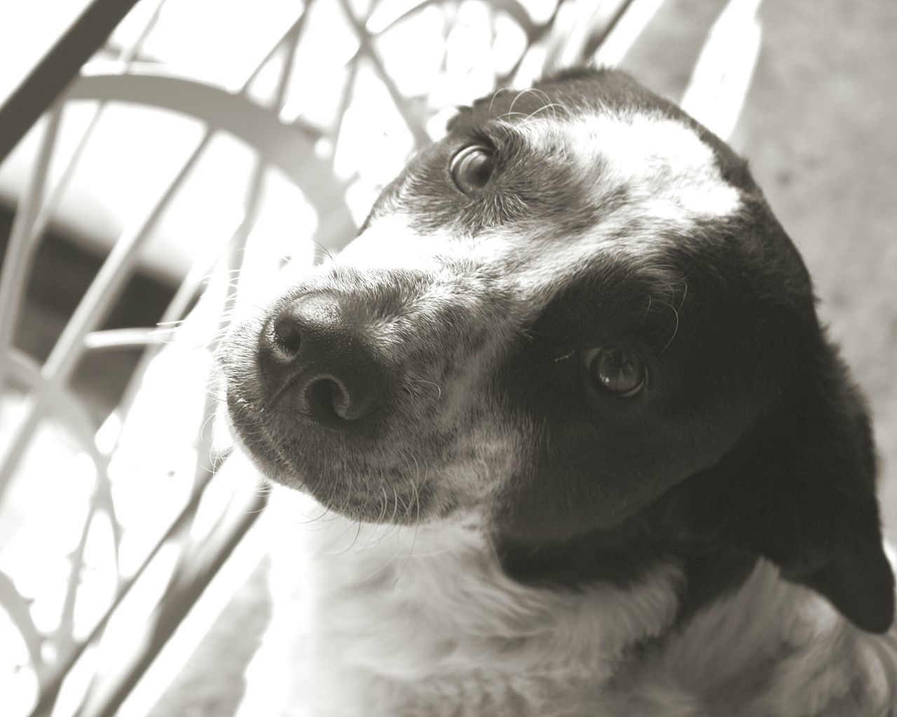 Dog Black And White Chien Noir Et Blanc Popular Popular Photos Cute Pets Cute Dogs Pets Pet Photography  Animal Portrait Animal Themes Animal Photography EyeEm Gallery EyeEm Best Shots Eyem Gallery Animal Chiens Domestic Animals No People One Animal Tranquil Scene Scène De Vie