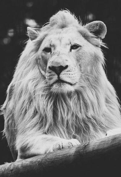 Lion Red Tovelo London Blackandwhite