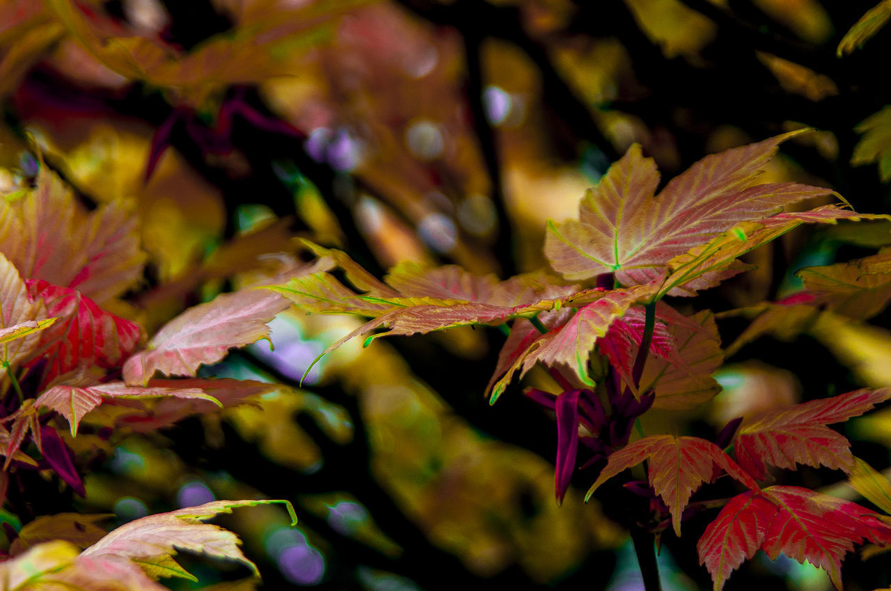 leaf, autumn, change, leaves, nature, beauty in nature, maple leaf, no people, maple tree, close-up, outdoors, growth, day, maple, fragility, branch, tree