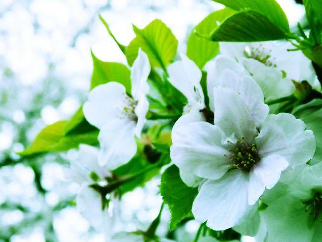 花 Flowers Blossom 桜