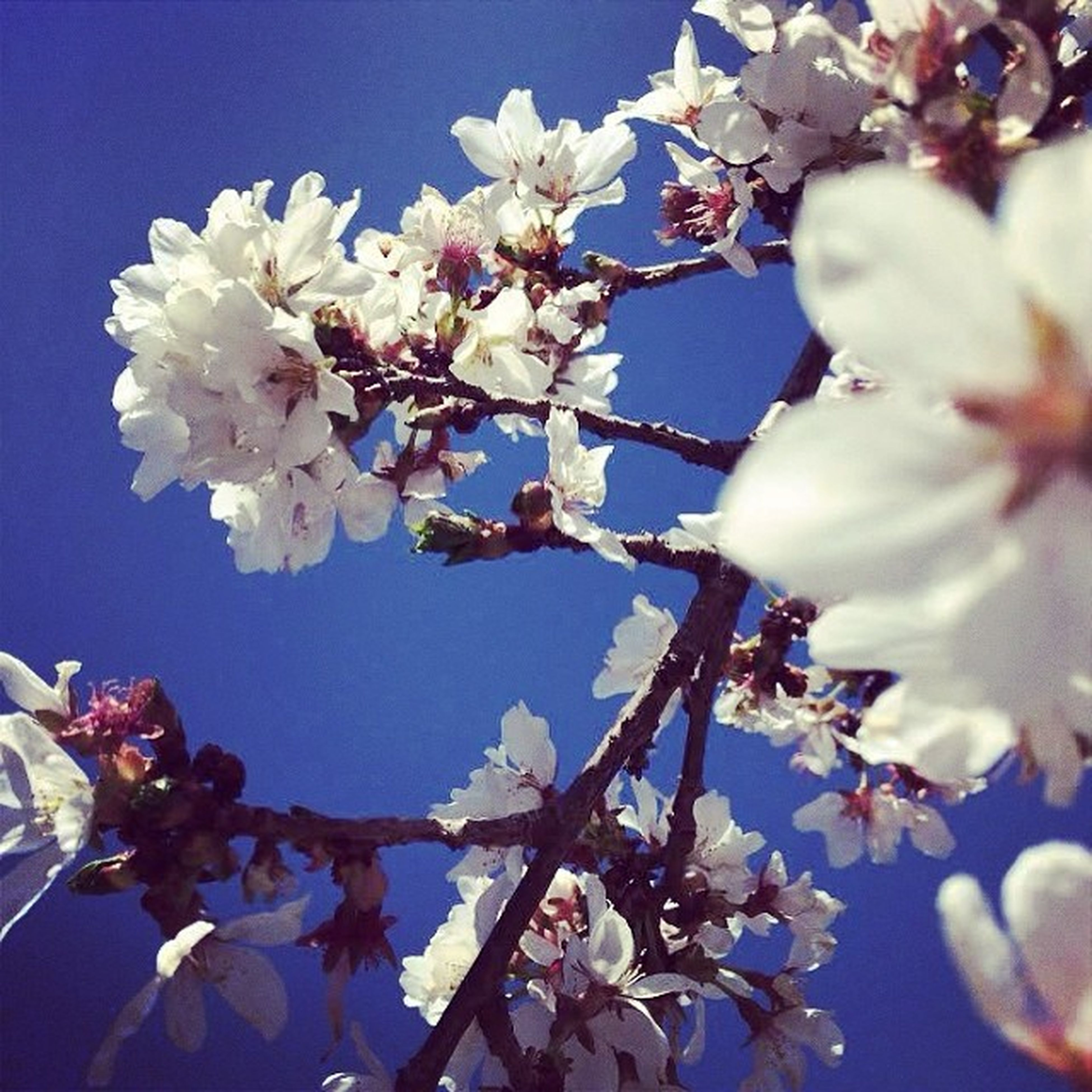 flower, branch, low angle view, freshness, white color, fragility, growth, cherry blossom, tree, beauty in nature, nature, petal, blossom, cherry tree, blooming, close-up, blue, in bloom, focus on foreground, twig