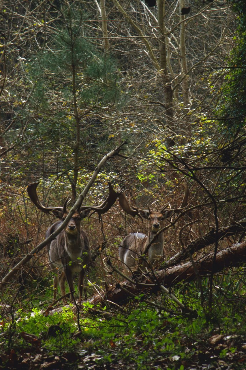 tree, animals in the wild, animal themes, forest, nature, animal wildlife, day, mammal, no people, outdoors, branch, stag, beauty in nature
