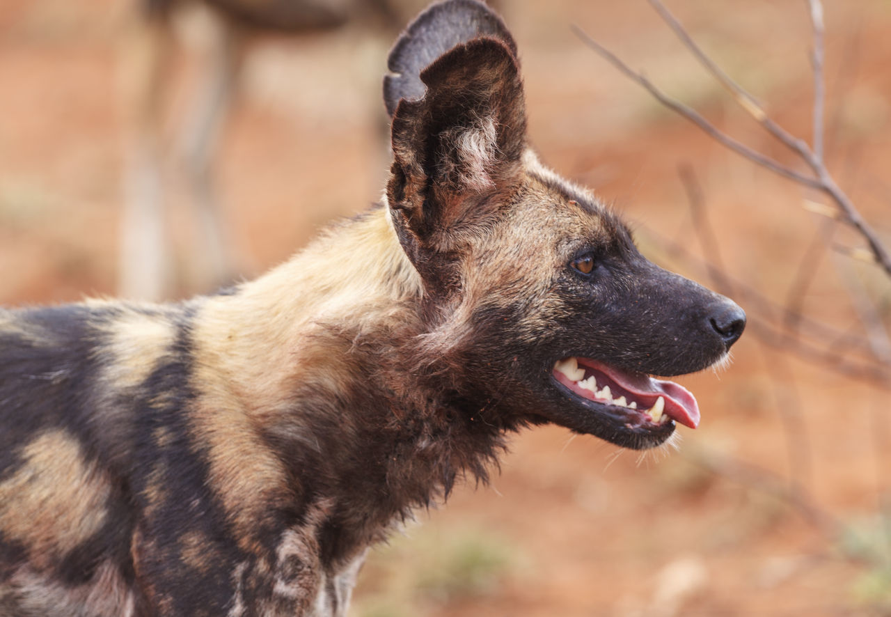 African wild dog Africa Animal Themes Close Up Close-up Dangerous Animals Day Dog Domestic Animals Endangered  Endangered Animals Endangered Species Focus On Foreground Mammal Nature No People One Animal Outdoors Safari Safari Animals South Africa Wild Wildlife Wildlife & Nature Wildlife Photography