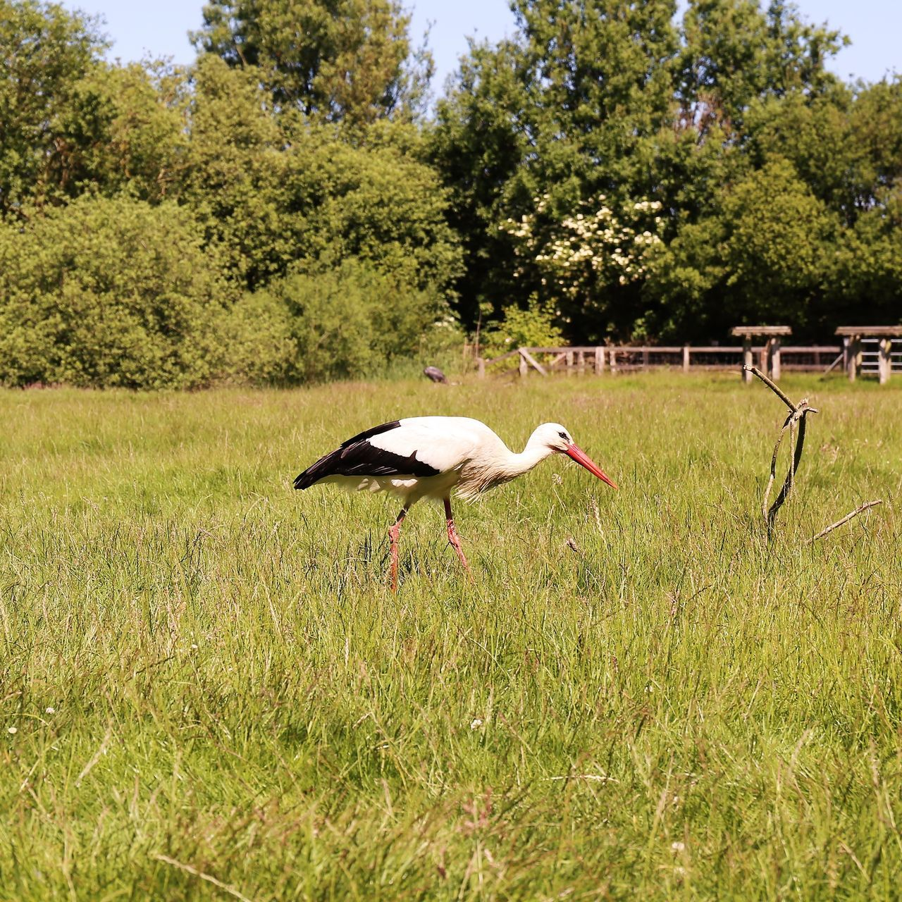 White stork Ciconiidae White Stork Animal Themes Animal Wildlife Animals In The Wild Beauty In Nature Bird Ciconia Ciconia Day Grass Green Color Growth Klapperstorch Nature No People One Animal Outdoors Sky Storch Stork Tree Weißstorch White Stork