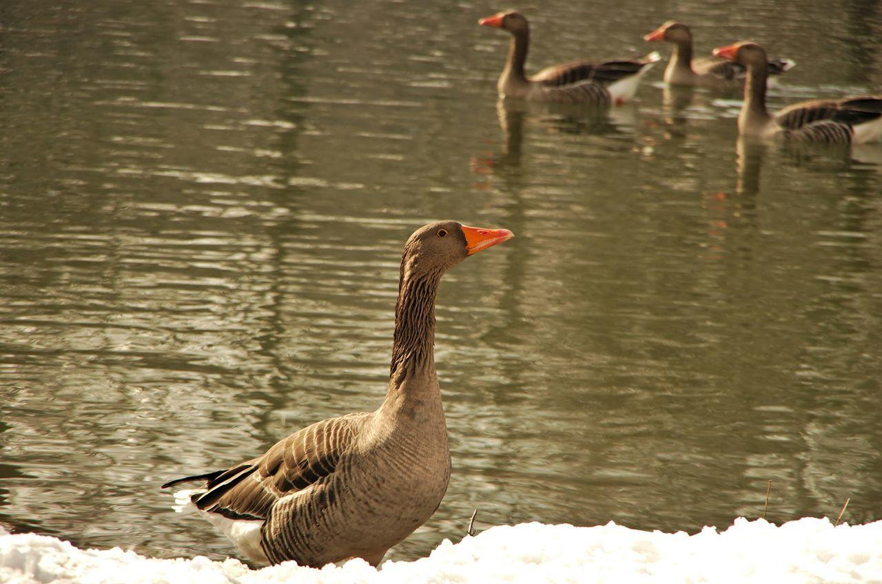 Wild Gees Near Water's Edge In Winter