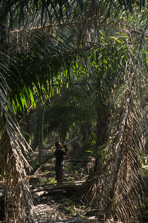 Palm oil plantation worker Beauty In Nature Branch Day Forest Full Length Growth Industry Nature One Person Outdoors Palm Oil Farmer Palm Oil Fruit Palm Oil Industry Palm Oil Plantation Palm Oil Tree Palm Trees People Potrait Real People Standing Tranquil Scene Tranquility Tree Worker Young Adult