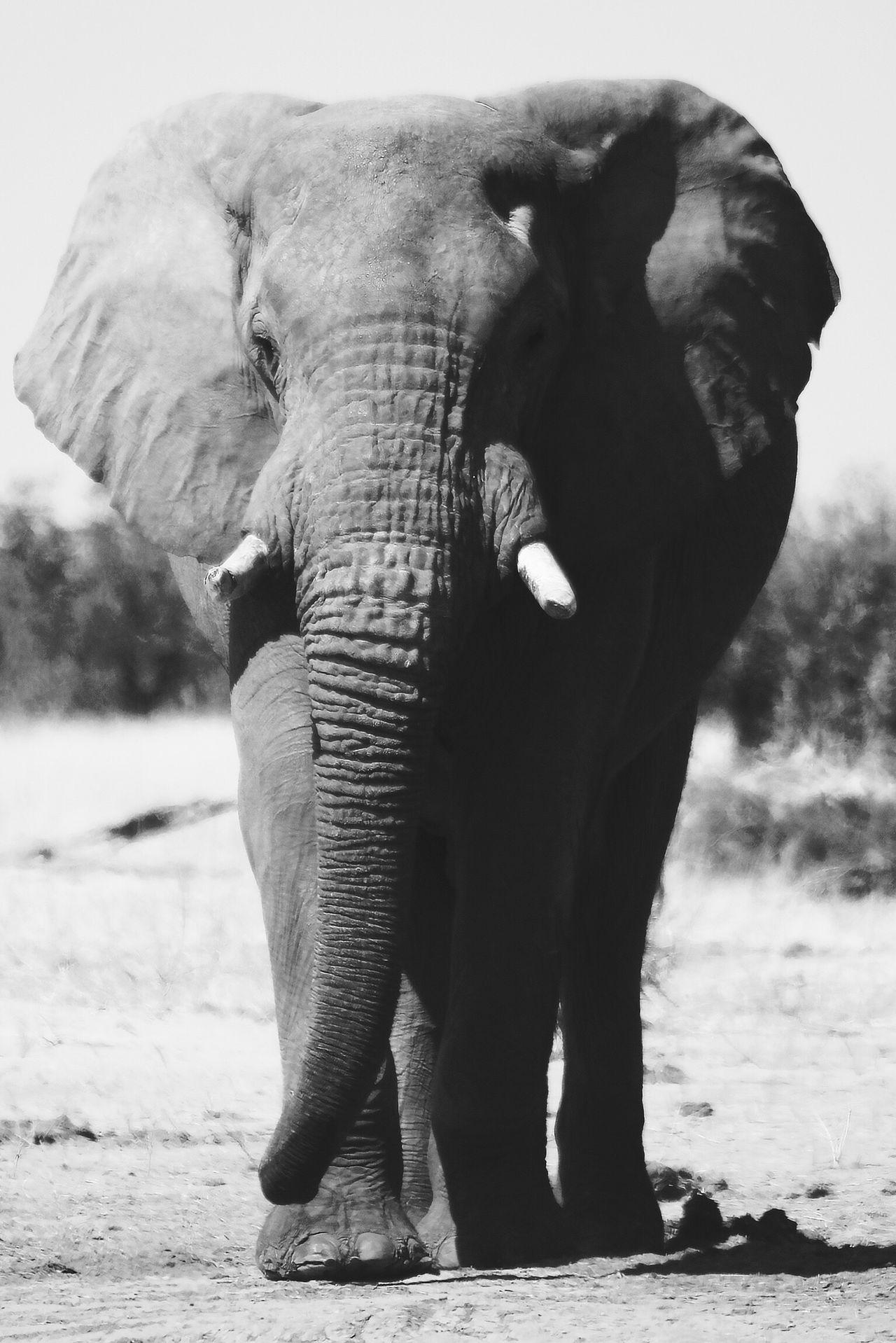 Big is beautiful Elephant Animal Themes One Animal Animal Trunk Front View Animals In The Wild Mammal Nature Tusk No People Animal Wildlife Safari Animals African Elephant Trunk Close-up Africanamazing Botswana Safari Wildlife Photography Wildlife & Nature EyeEm Best Shots Tranquil Scene