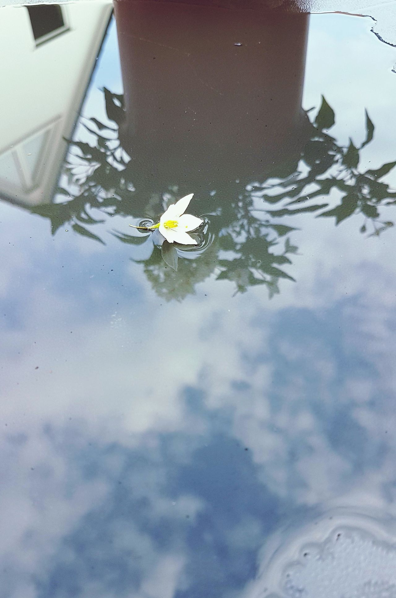 Water Swimming High Angle View Day Floating On Water Outdoors Garden Photography Flower Flower Head Blossom White Color Fragility Springtime Freshness Water Reflection Beauty In Nature After The Rain Lying On A Table Nature Jasmine Flower Sky Reflections On Water