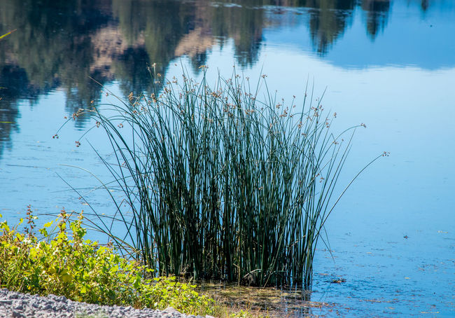 Reeds in reflection on the crystal clear Trout lake in the Sanctuary Beauty In Nature Beauty In Nature Bestoftheday Check This Out Day Eye4photography  EyeEm Nature Lover Growing Growth Lake Lakeside Nature No People Non-urban Scene Outdoors Plant Reflection Riverbank Scenics Solitude Tourism Tranquil Scene Tranquility Water Wetland