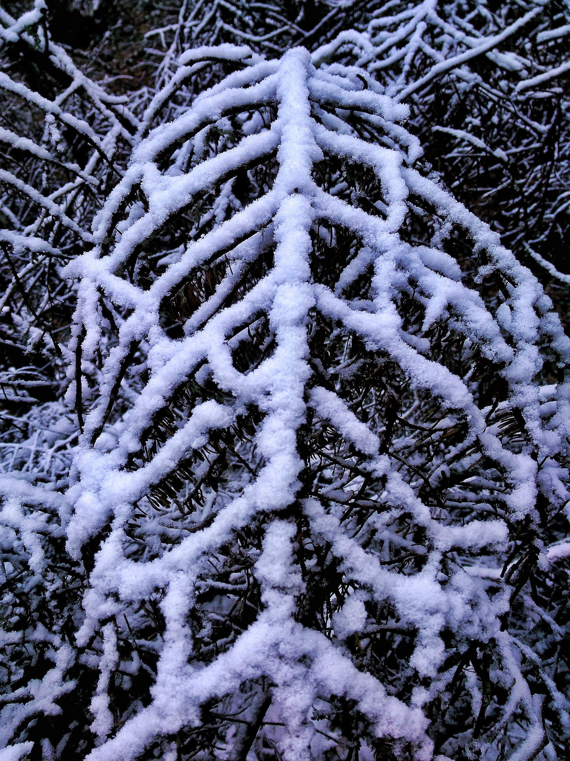 snow, winter, cold temperature, season, weather, covering, frozen, tree, bare tree, nature, white color, branch, covered, tranquility, beauty in nature, day, outdoors, forest, no people, growth