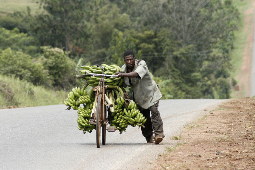Plantation Worker is pushing with bananas overloaded bike up-hill Delivery Road Transportation Africa African People Banana Plantation Bike Dirty Exploitation Hard Life Hard Working Lush Greenery Poorness Pushing Up And Down Uphill