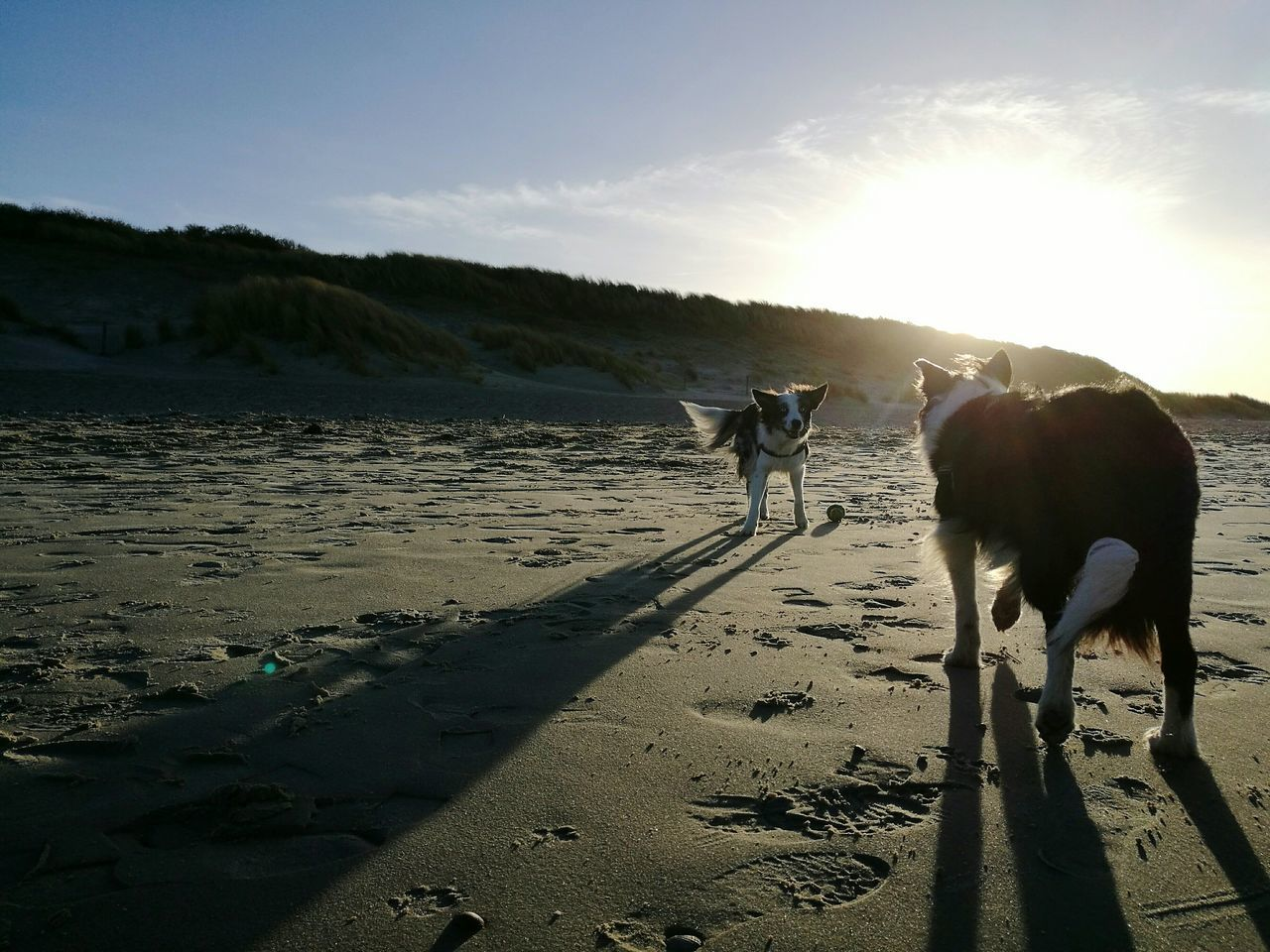 Sunlight Nature Outdoors Landscape Bordercollie  Playing Beach Zeeland