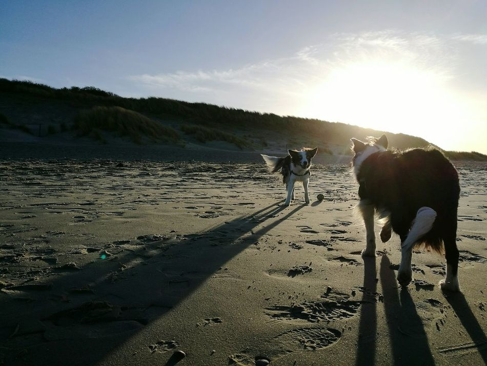 Sunlight Nature Outdoors Landscape Bordercollie  Playing Beach Zeeland