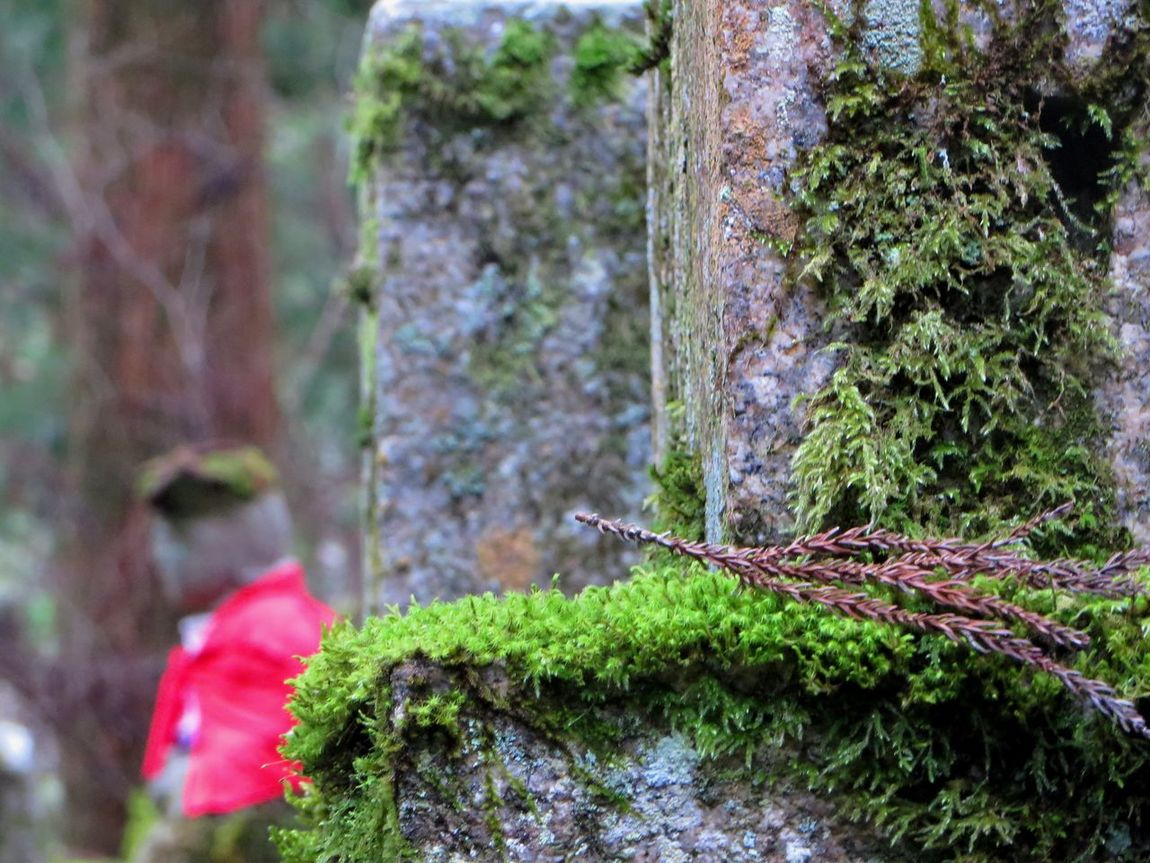 Beauty In Nature Buddhism Cedar Tree Flower Focus On Foreground Graveyard Beauty Growth Japan Japanese History Koyasan Moss Mossporn Mount Koya Old Plant Selective Focus