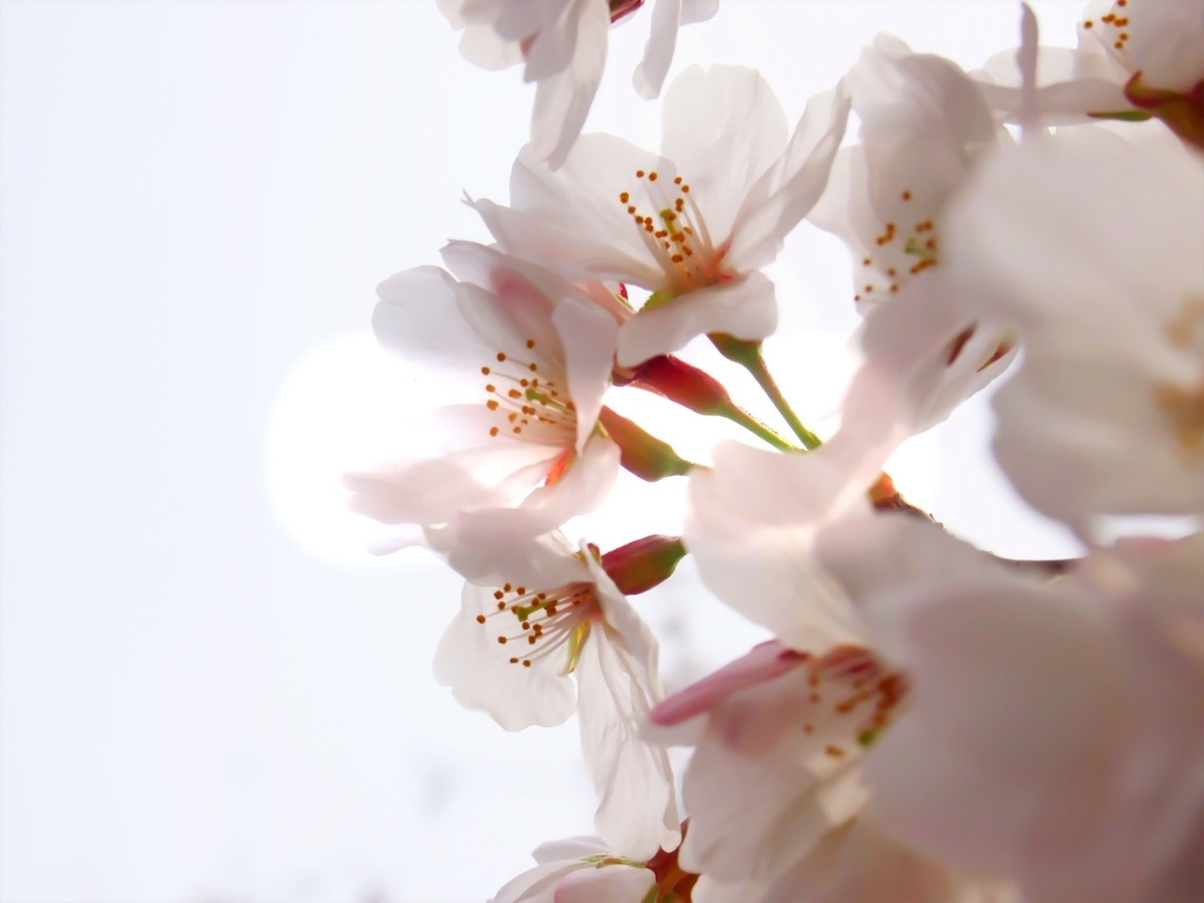 flower, fragility, freshness, petal, beauty in nature, white color, low angle view, nature, growth, focus on foreground, close-up, tree, flower head, cherry blossom, blooming, blossom, branch, day, in bloom, outdoors