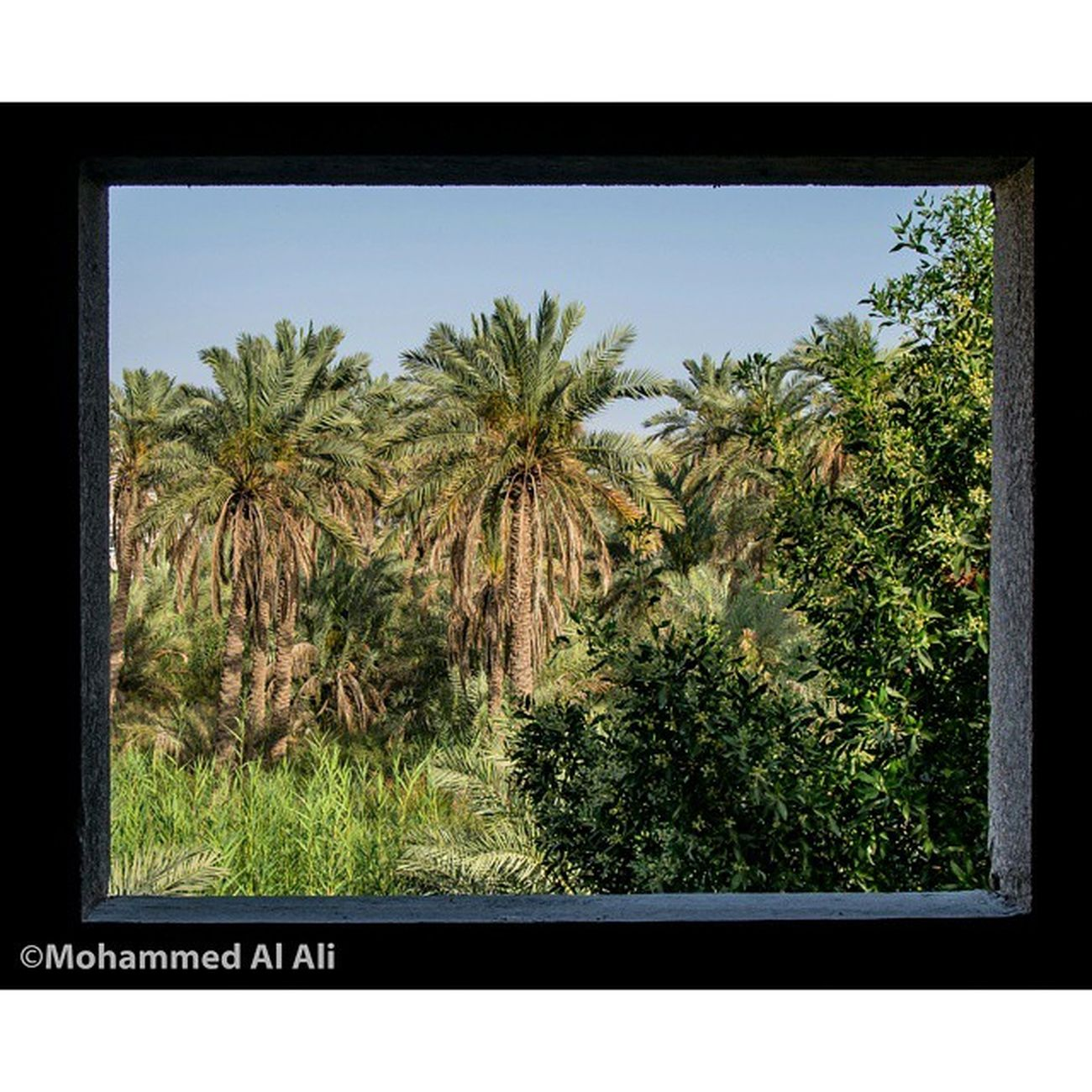 Olympus OlympusPEN PL7 Frame Micro_four_third Mft Palmtrees Basrah Iraq