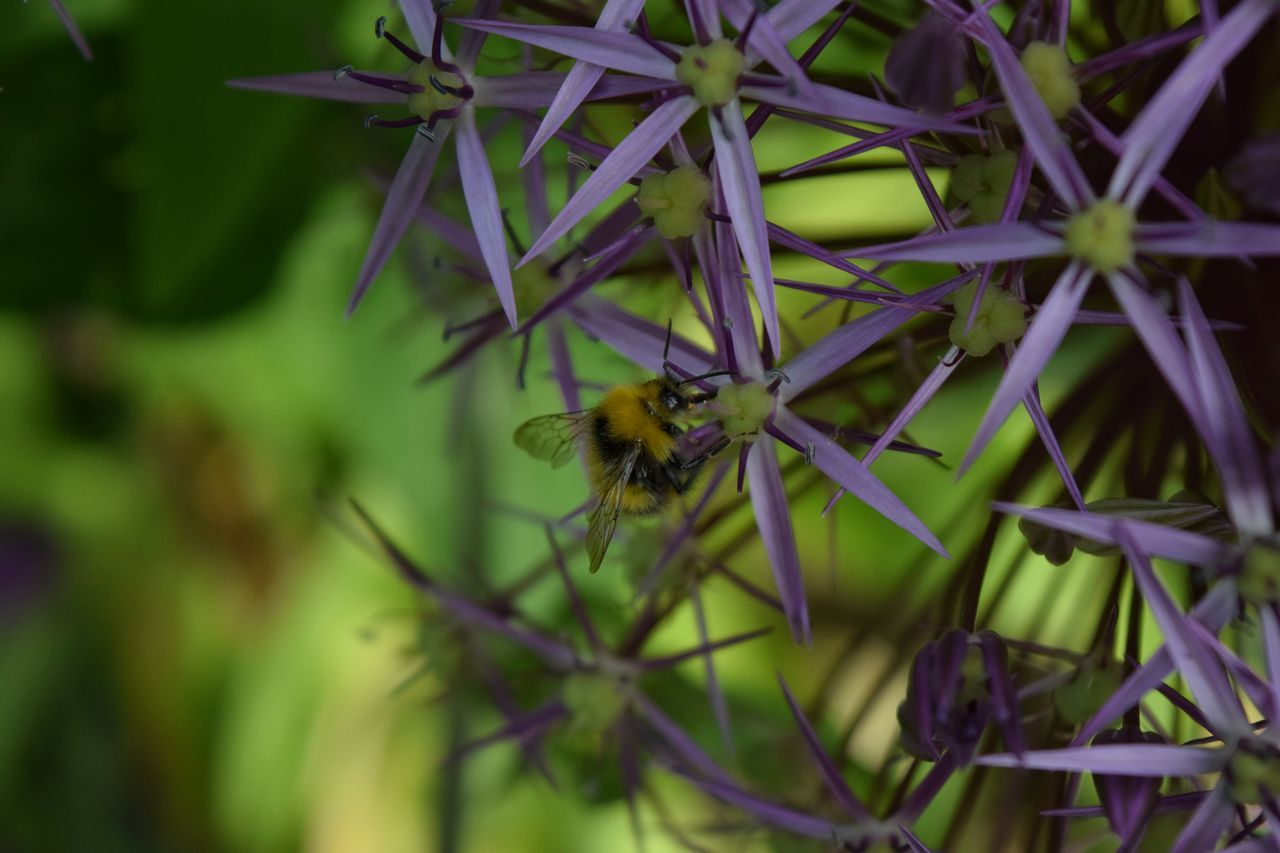 Bumblebee Bee Insect Nature Close-up No People Flower Day Outdoors Freshness Flower Head Purple Nature Beauty In Nature Summertime One Insect Growth Plant Focus On Foreground Petal Wings Pollination Fragility Buzzing Hovering