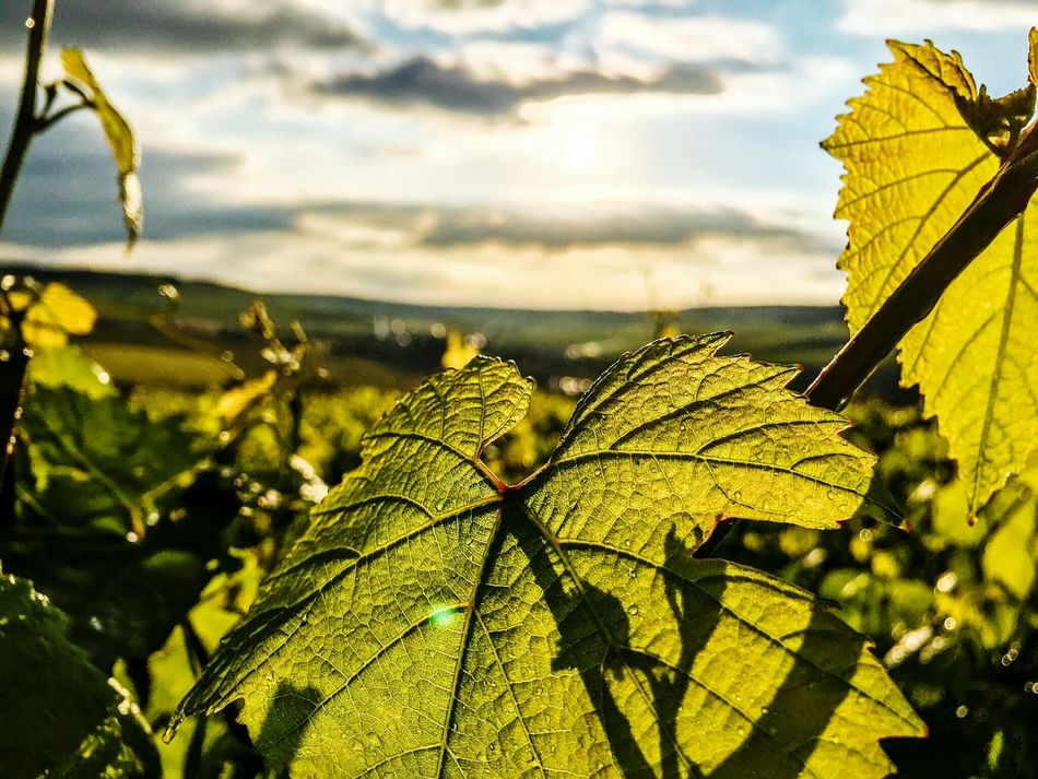 Vivelafrance Nature_perfection Flowerporn Naturelovers EyeEm Nature Lover Nature Photography Nature_collection Best EyeEm Nature Wine Wine Grapes Champagne Grapes Green Grapes France Champagne Champagne Region No People Nopeople Sunset