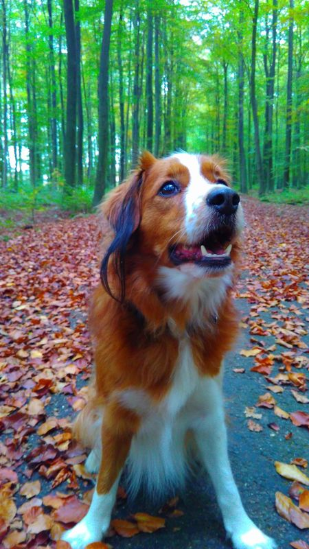 Continuation of the forest walk Dog Animal Themes Pets Domestic Animals Mammal One Animal Tree Nature No People Forest Outdoors Path Happy Dog Kooikerhondje  Kooiker  Portrait